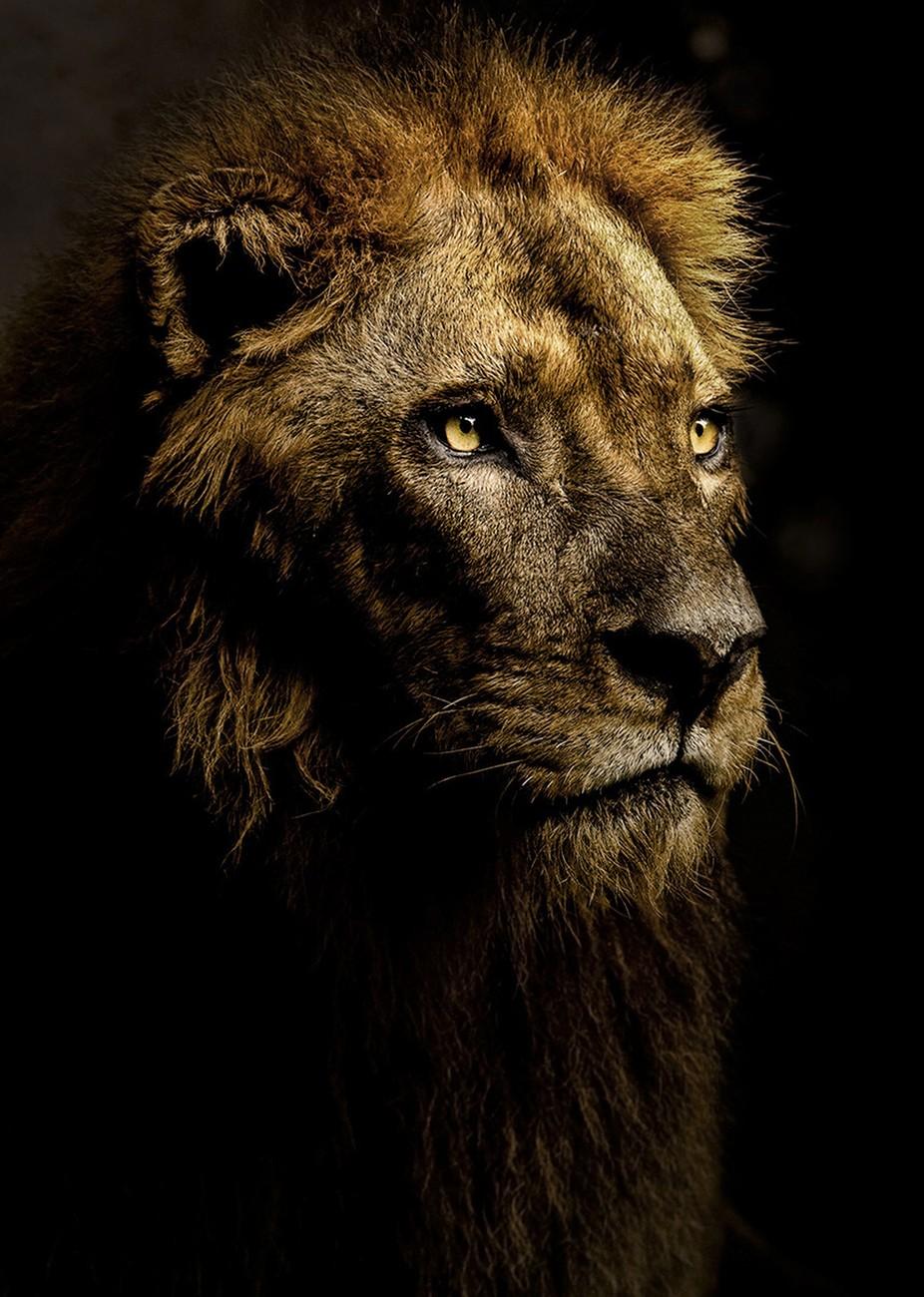 Lion in the Shadows by stephanieswartz - Wildlife Photo Contest 2017