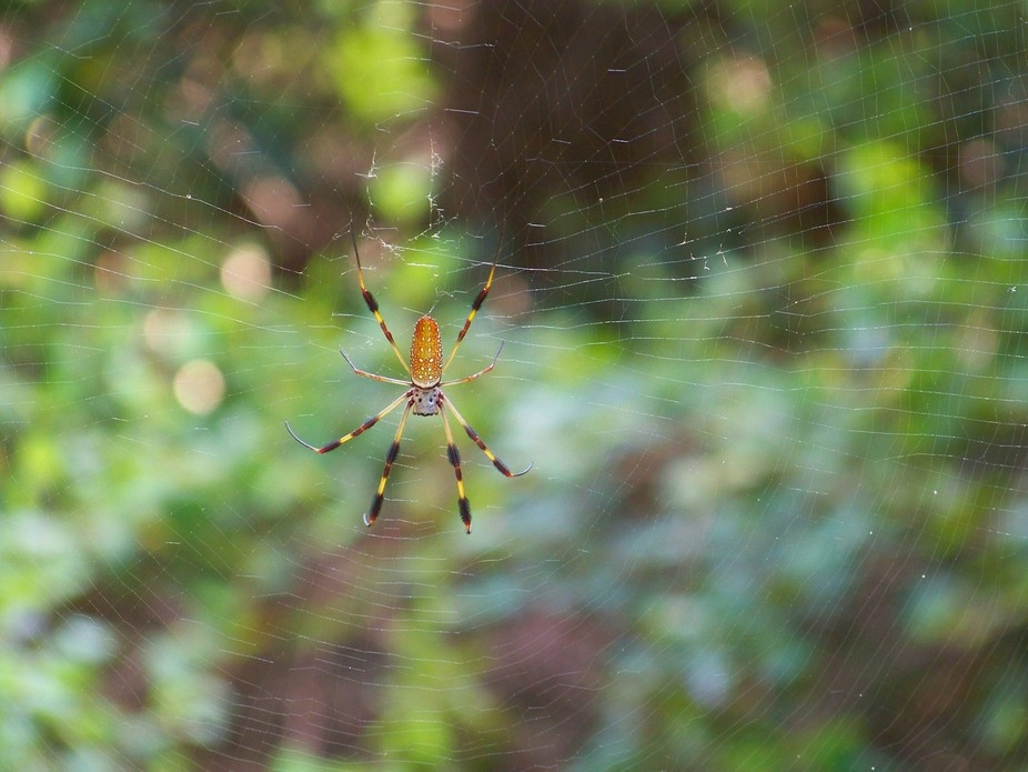 This photo of a Golden Silk Spider was taken at Huntington Beach State Park, SC, in August of 2012.