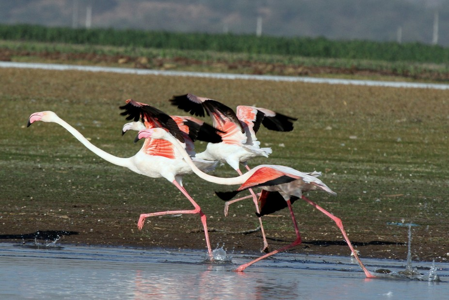 FIM - Greater Flamingos in Motion