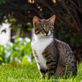 Always standing with pride and waiting for the right moment, Cid the cat would follow his prey with his eyes before dashing towards his prize. Ne...