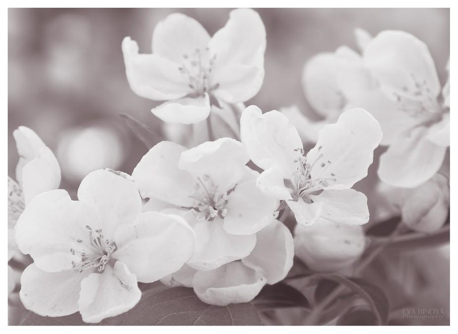 Apple blossoms converted into sepia tone