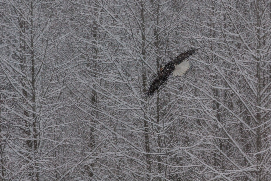 They are just as majestic in the middle of a snow storm. It was a treacherous day at the river an...
