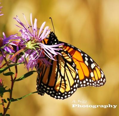 Monarch  2                      al fritz