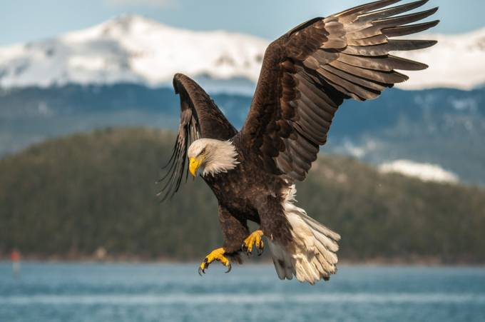 concentrate..concentrate... by JDJohnson - Just Eagles Photo Contest