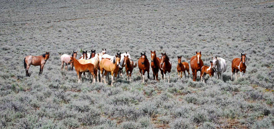Band of Mustang Mares and fouls. Steens Mountain in SE Oregon