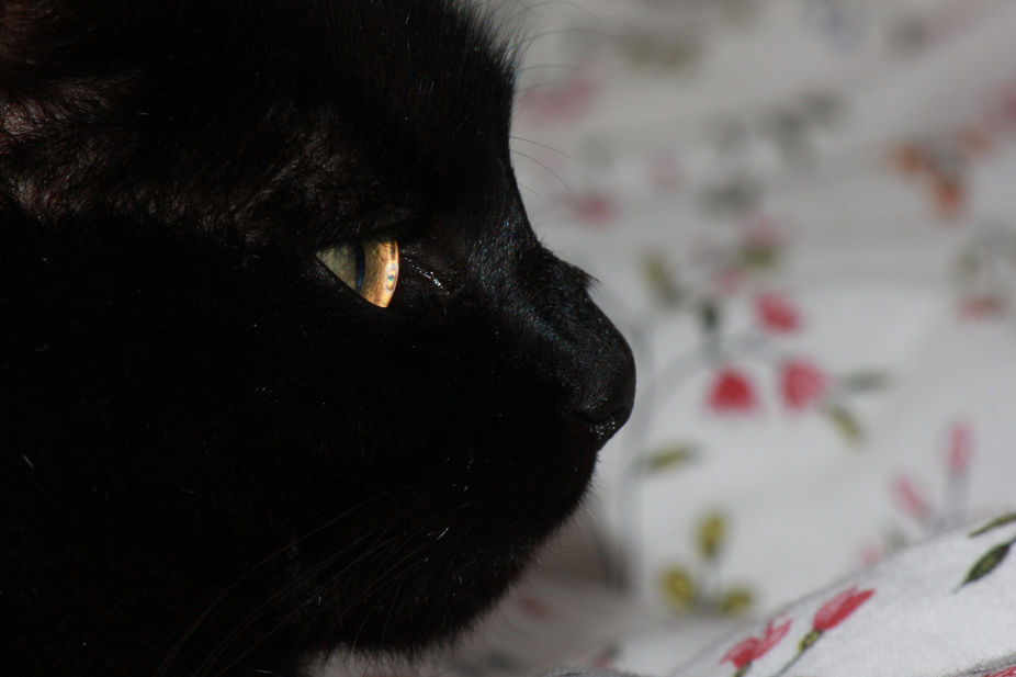 Black Cat With Sparkling Eyes