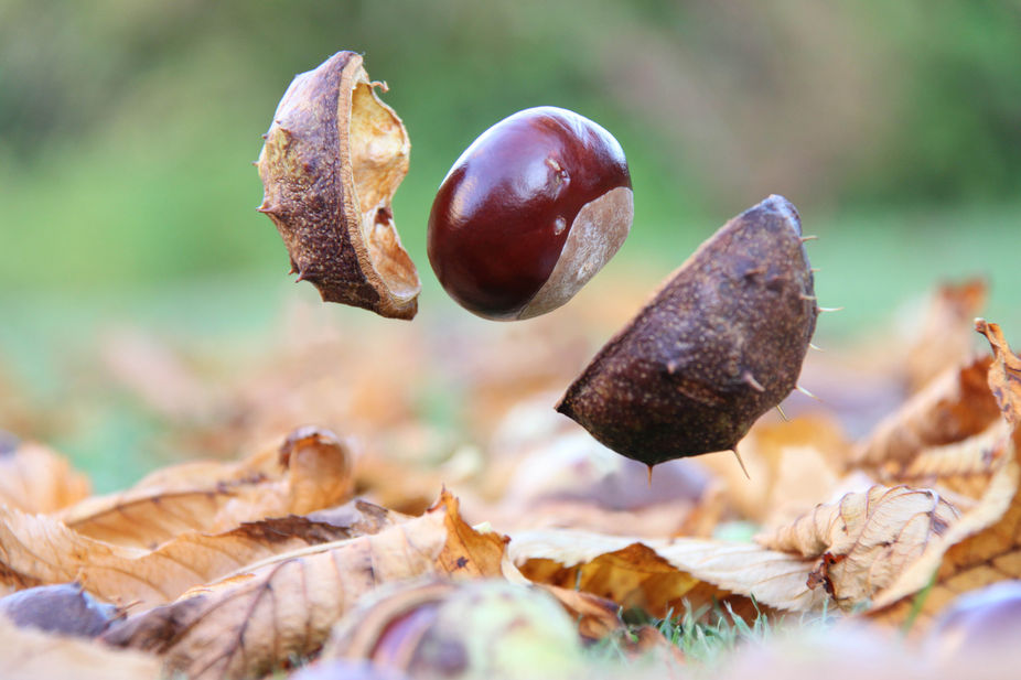 On windy day, the chestnut tree drops conkers on the ground. They bounce and free the seeds insid...