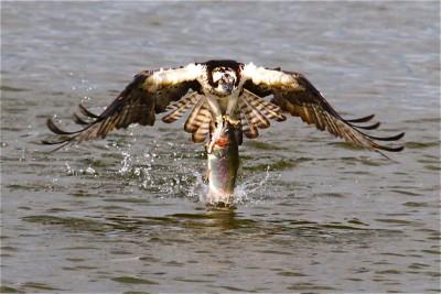 Osprey Trout