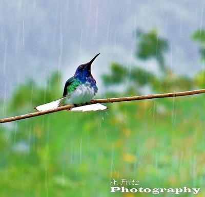 Trinidad Humming bird gets wet          al fritz