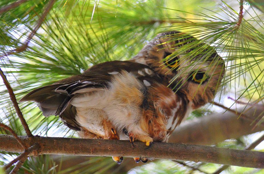 saw-whet owl22