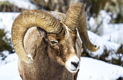 Beauty of the Bighorn.