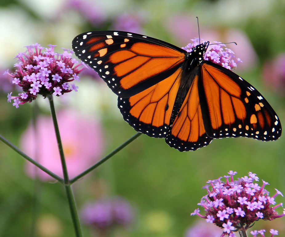 Monarch butterfly captured in my backyard last summer.