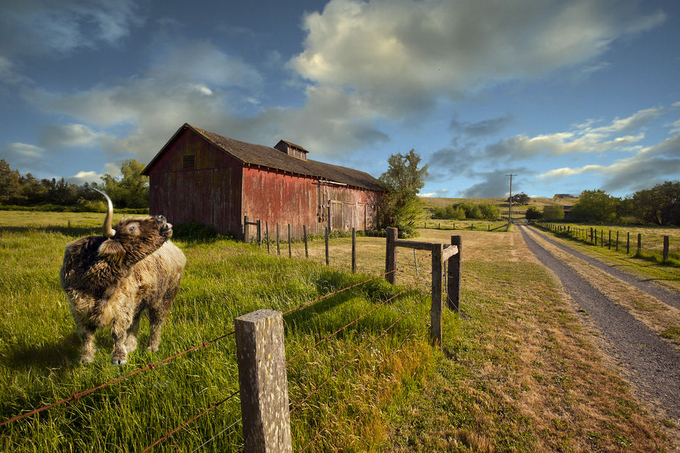 Shaggy Bull and Barn by Leepix - Fences Photo Contest