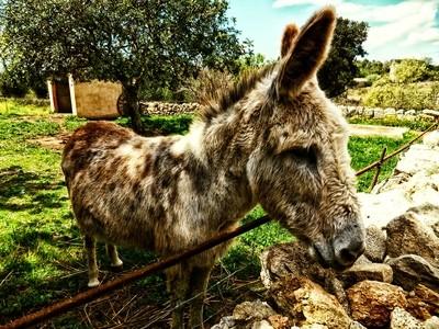 White Brown donkey