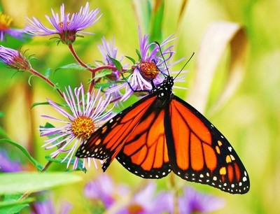 Monarch Butterfly  al fritz