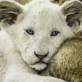 A South African white lion cub waking from his nap :)
