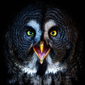 In Portrait....The Great Grey Owl