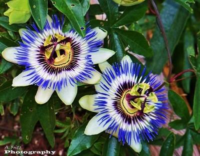 Passion Flowers              al fritz
