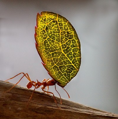 Solo ant with leaf
