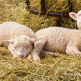 Very cute, but very tired lambs, barely able to keep their eyes open.