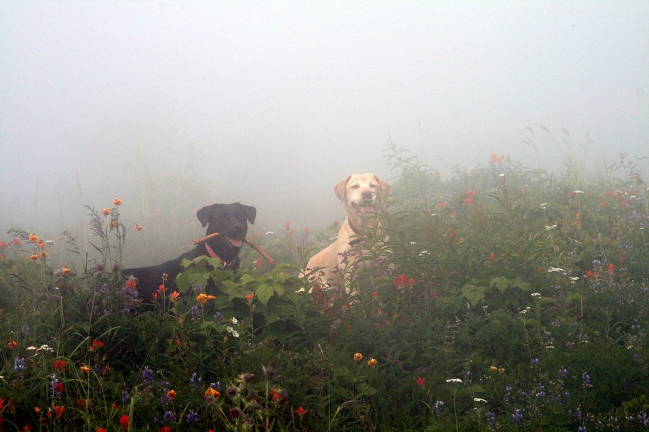 Our Labs enjoying the fog and the flowers.  Mailbox Peak Hike Washington State