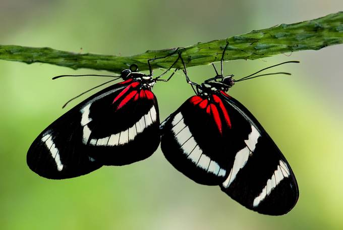 Postman-Pair-(Heliconius-melpomene) by FrankSomma - Beautiful Butterflies Photo Contest