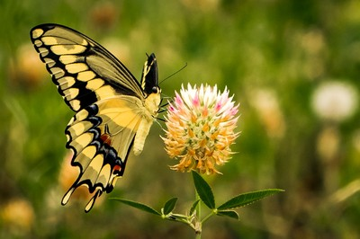 Spring Swallowtail