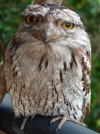 TAWNY FROGMOUTH OWL VISITS FOR BREAKFAST