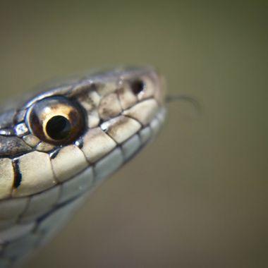 Garter Snake, Thamnophis