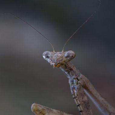 praying mantis , Mantis religiosa