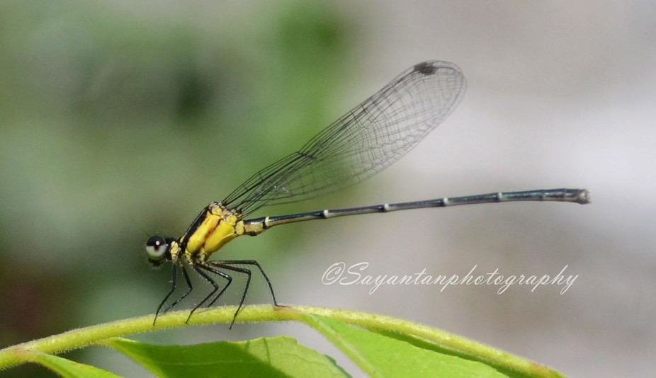 A damsel fly on a leaf .