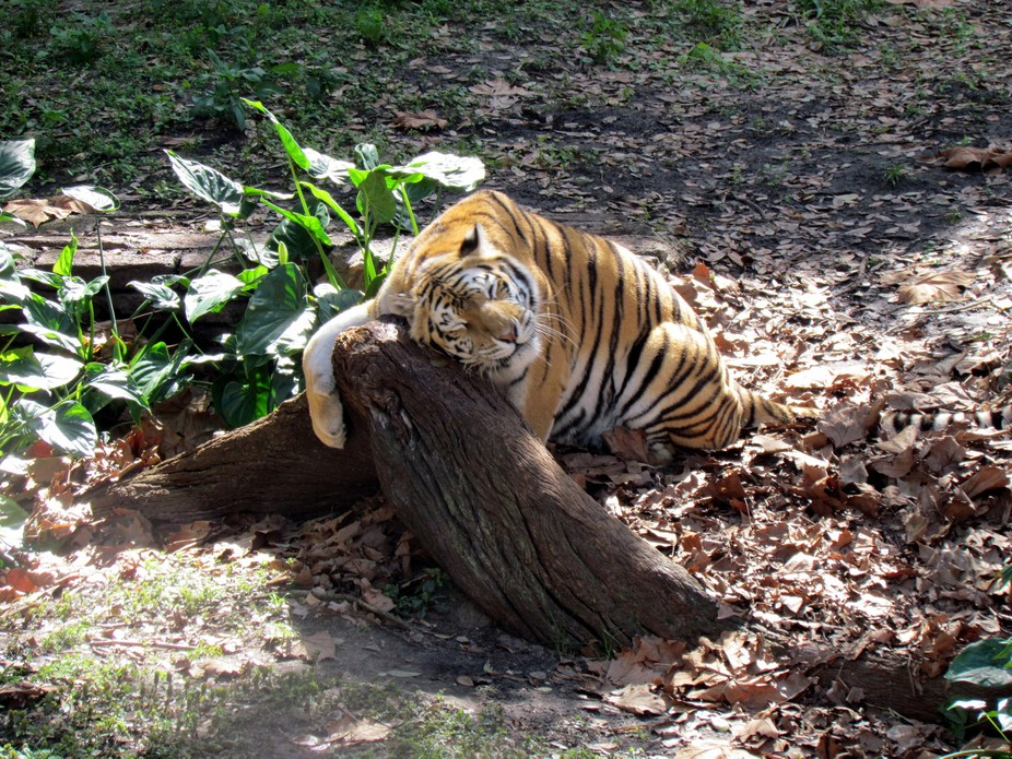 This tiger seems to just love his tree.
