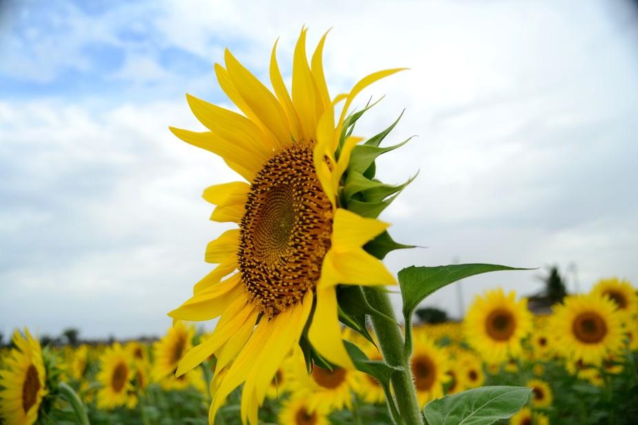 Sunflowers - All Yellow !!!