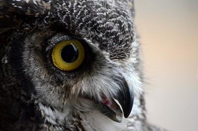 Tex the Owl