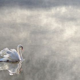 Icy mist burning off a lake in western North Carolina with a swan heading into its depths.