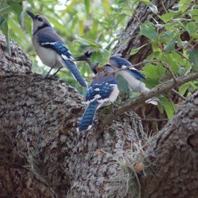 Family of Bluejays in my backyard