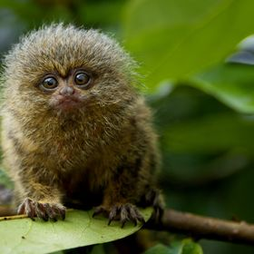 this little guy can be found in the top of the tree's in the amazon. Very shy they are almost impossible to approach.