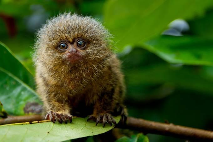 Pygmy Marmoset by tazdevilgreg - Small Wildlife Photo Contest