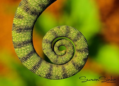 Curled-up tail of Indian Chameleon