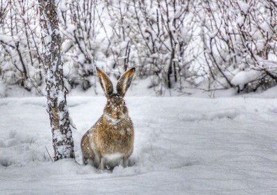 Snowy Rabbit