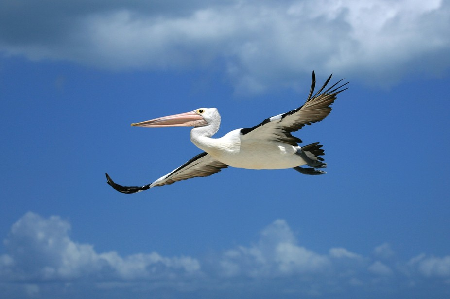 I caught this fella at Moreton Island QLD. Pelicans would have to be one of my most favourite bir...