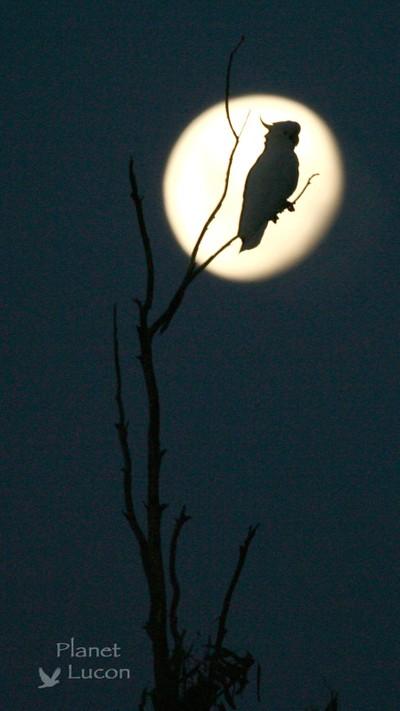 Moonlit Cockatoo