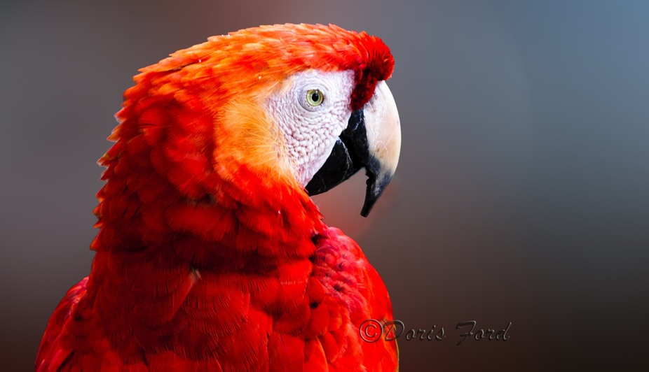 Red Parrot head