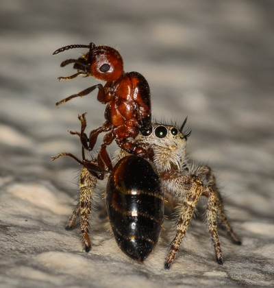 Jumping spider eating an ant