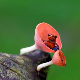Poison dart frog in a tiny mushroom
