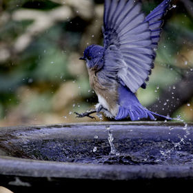 Blue Bird flying out of bird bath