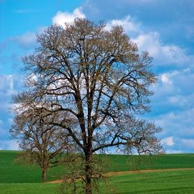 An Oak Tree towers over an Alfalfa field in Oregon's Willamette River Valley.