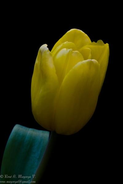 Yellow Tulip Close Up on Black Background - DSC_7306