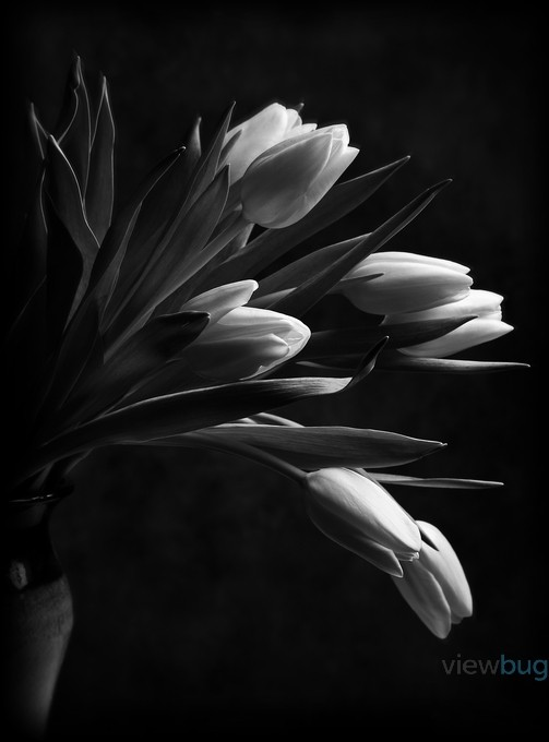 Black and white flowers enjoy the photo contest winners blog tulips by sabatesphoto black and white flowers photo contest mightylinksfo