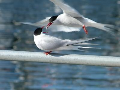 Arctic Tern Courtship Ritual